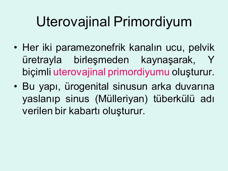 Uterovajinal Primordiyum Her iki paramezonefrik kanalın ucu, pelvik üretrayla birleşmeden kaynaşarak, Y biçimli uterovajinal primordiyumu oluşturur. B