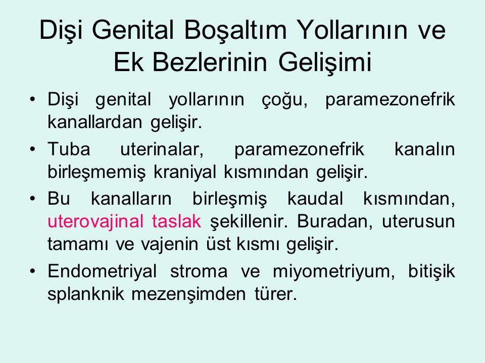 Dişi Genital Boşaltım Yollarının ve Ek Bezlerinin Gelişimi Dişi genital yollarının çoğu, paramezonefrik kanallardan gelişir. Tuba uterinalar, paramezo