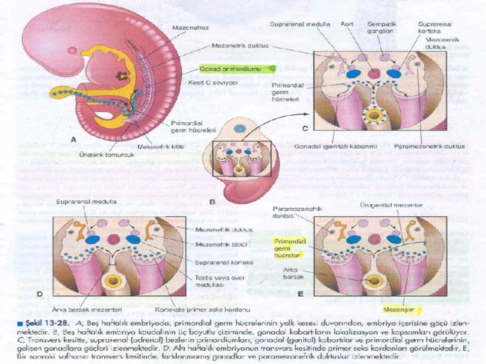 Erkek Genital Kanal ve Bezlerinin Gelişimi Mezonefroz dejenere olduğunda, mezonefrik kanallardan bazıları kalıcıdır ve duktuli efferentesleri oluştururlar.