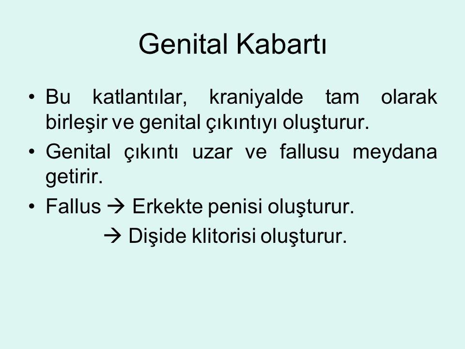 Genital Kabartı Bu katlantılar, kraniyalde tam olarak birleşir ve genital çıkıntıyı oluşturur. Genital çıkıntı uzar ve fallusu meydana getirir. Fallus