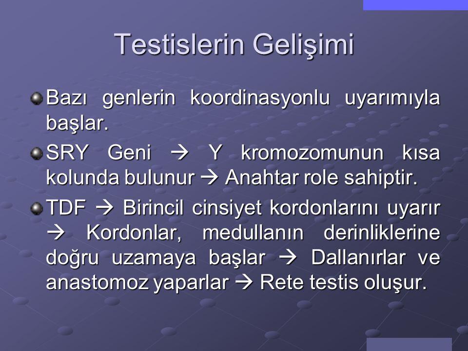 Testis Belirleyici Faktör (TDF) Bu unsur, testis farklılaşmasını sağlar.