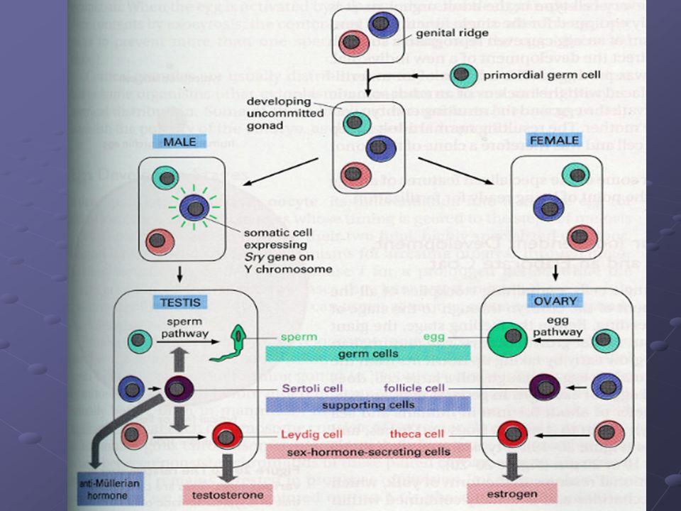 Testislerin Gelişimi Bazı genlerin koordinasyonlu uyarımıyla başlar.