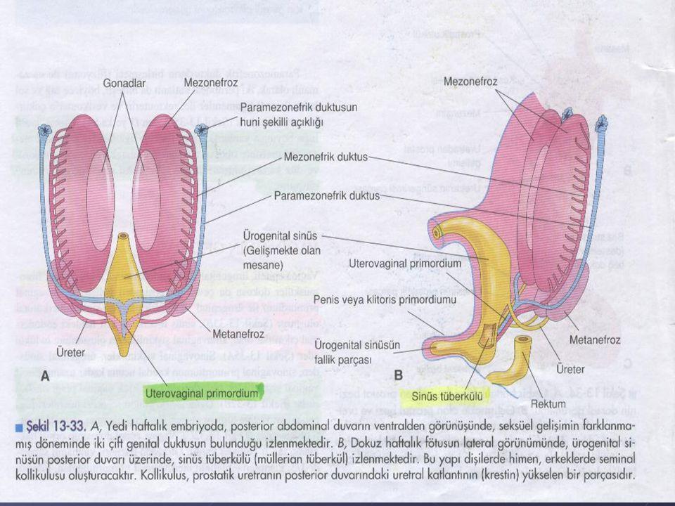 Genital Kanalların Gelişimi Dişi ve erkek embriyolarının her ikisi de, iki çift genital kanala sahiptir.