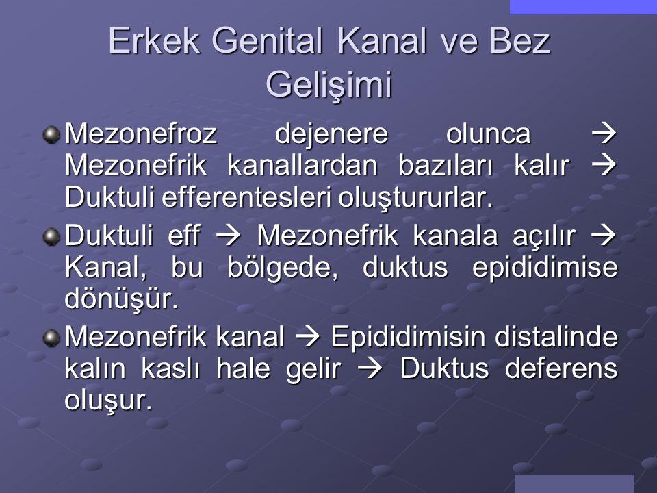 Erkek Genital Kanal ve Bez Gelişimi Fetal testislerde  Sertoli hücreleri 6.-7.