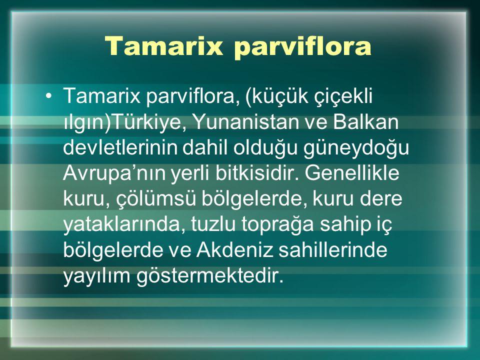 Tamarix parviflora Tamarix parviflora, (küçük çiçekli ılgın)Türkiye, Yunanistan ve Balkan devletlerinin dahil olduğu güneydoğu Avrupa'nın yerli bitkisidir.
