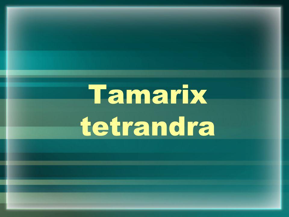 Tamarix tetrandra