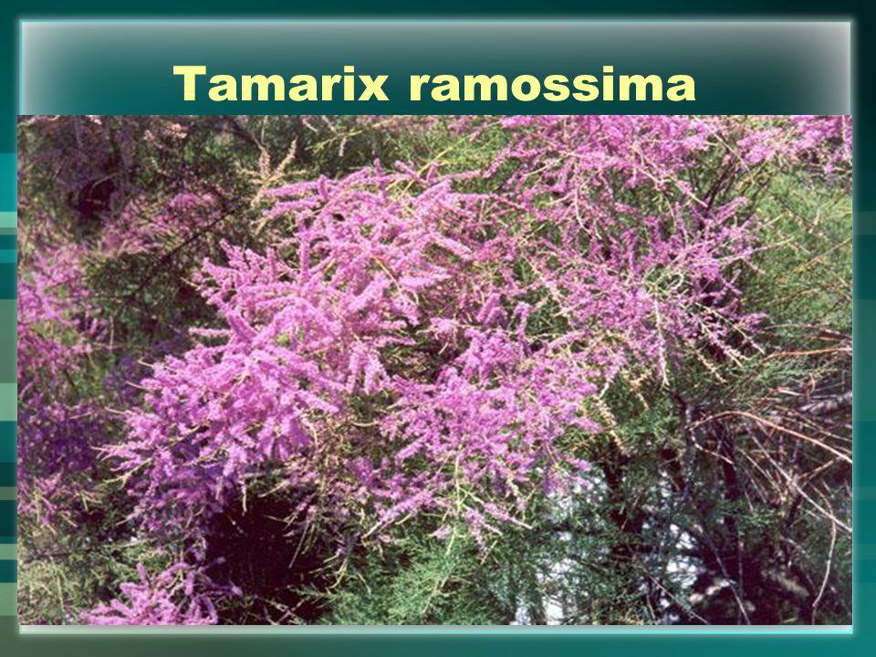 Tamarix ramossima