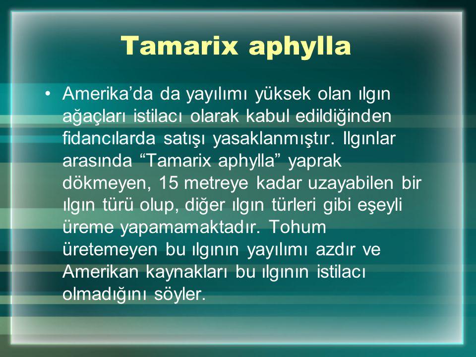 Tamarix aphylla Amerika'da da yayılımı yüksek olan ılgın ağaçları istilacı olarak kabul edildiğinden fidancılarda satışı yasaklanmıştır. Ilgınlar aras