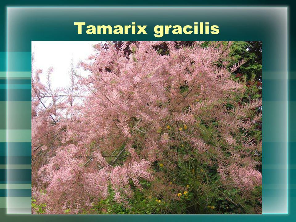 Tamarix gracilis