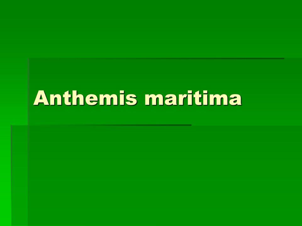 Anthemis maritima