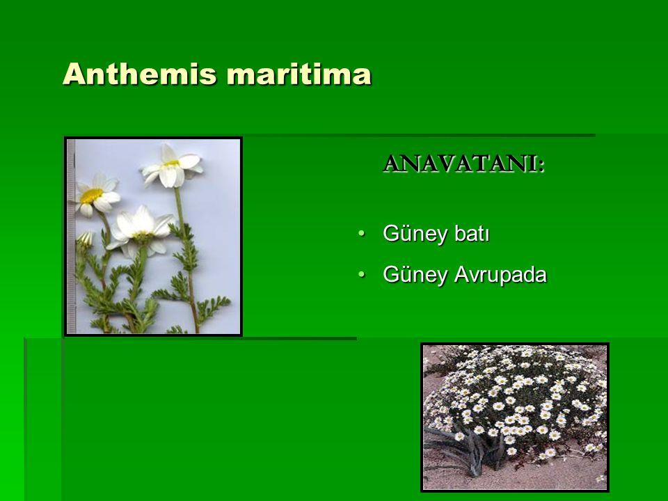 ANAVATANI: Güney batıGüney batı Güney AvrupadaGüney Avrupada Anthemis maritima