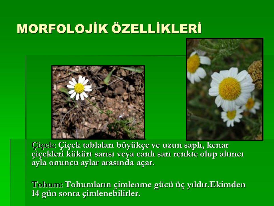 Çiçek: Çiçek tablaları büyükçe ve uzun saplı, kenar çiçekleri kükürt sarısı veya canlı sarı renkte olup altıncı ayla onuncu aylar arasında açar. Tohum