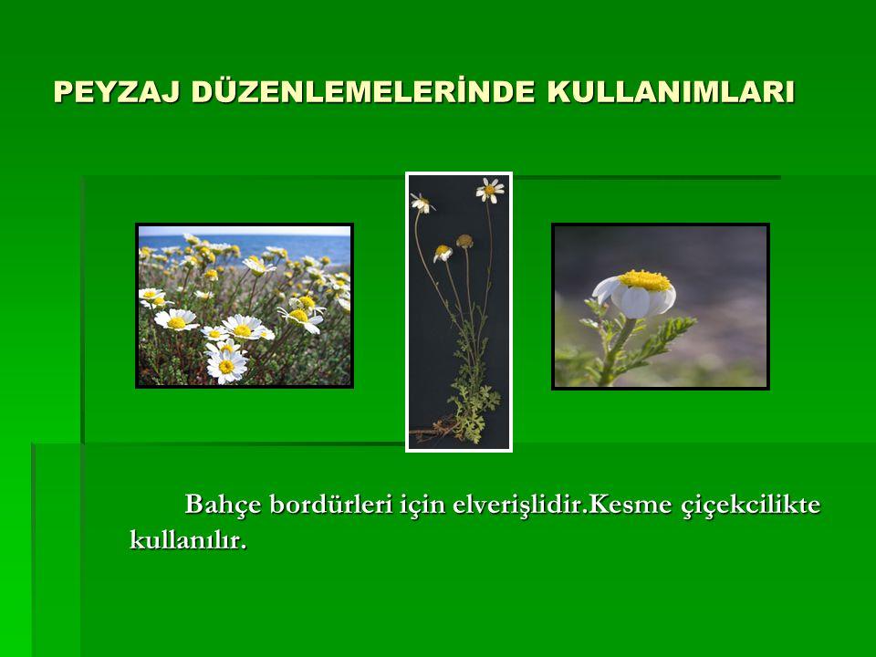 PEYZAJ DÜZENLEMELERİNDE KULLANIMLARI Bahçe bordürleri için elverişlidir.Kesme çiçekcilikte kullanılır.