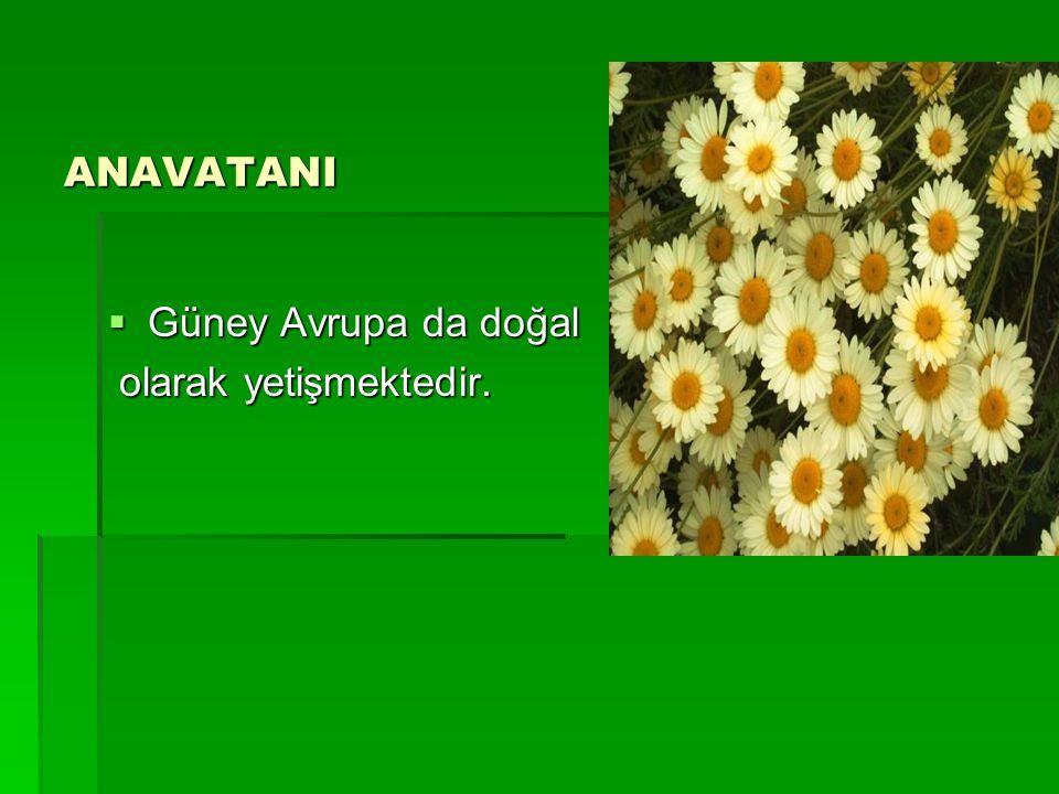 ANAVATANI  Güney Avrupa da doğal olarak yetişmektedir. olarak yetişmektedir.