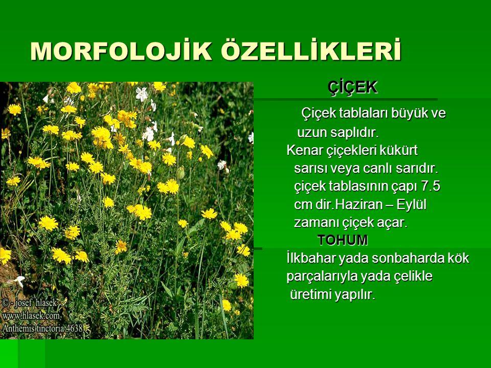 MORFOLOJİK ÖZELLİKLERİ  ÇİÇEK  Çiçek tablaları büyük ve  uzun saplıdır.  Kenar çiçekleri kükürt  sarısı veya canlı sarıdır.  çiçek tablasının ça