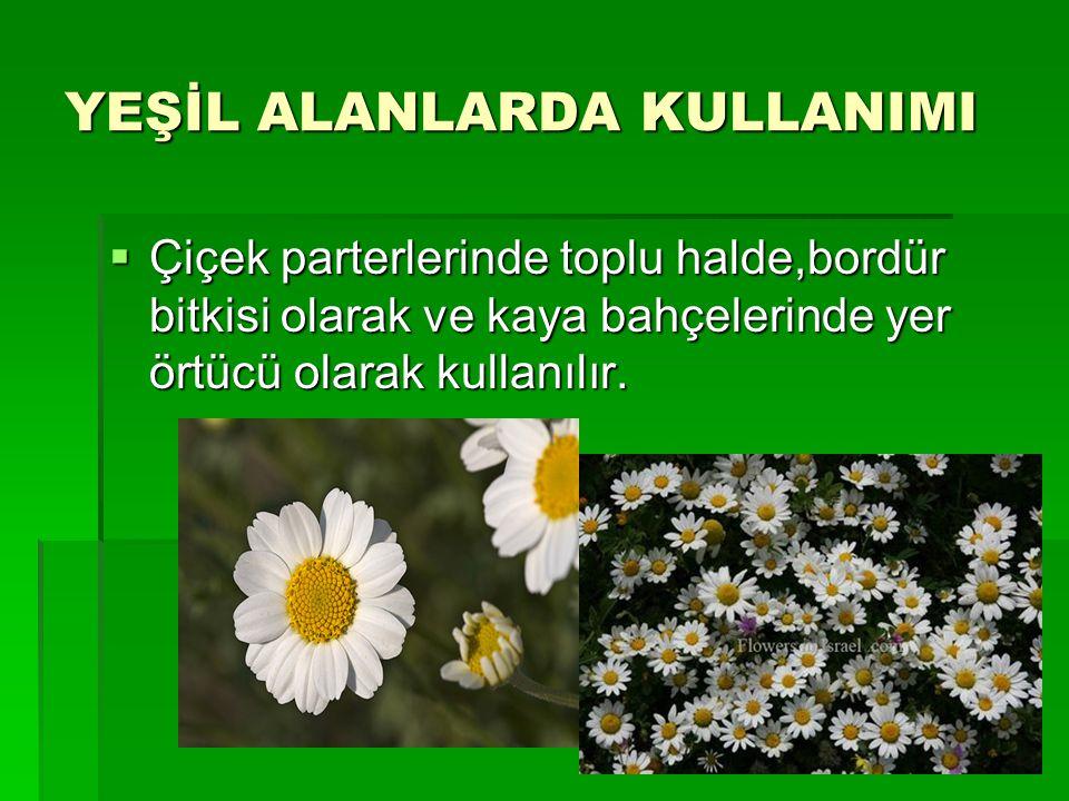 YEŞİL ALANLARDA KULLANIMI  Çiçek parterlerinde toplu halde,bordür bitkisi olarak ve kaya bahçelerinde yer örtücü olarak kullanılır.