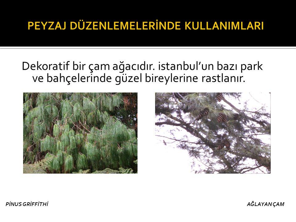 Dekoratif bir çam ağacıdır. istanbul'un bazı park ve bahçelerinde güzel bireylerine rastlanır. PİNUS GRİFFİTHİ AĞLAYAN ÇAM
