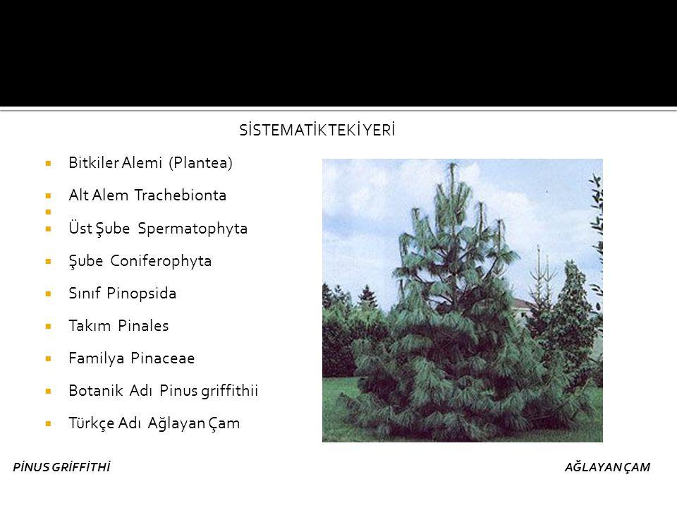 SİSTEMATİKTEKİ YERİ  Bitkiler Alemi (Plantea)  Alt Alem Trachebionta   Üst Şube Spermatophyta  Şube Coniferophyta  Sınıf Pinopsida  Takım Pinal