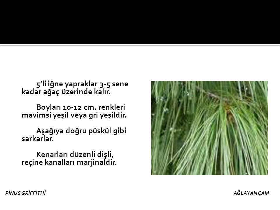 5'li iğne yapraklar 3-5 sene kadar ağaç üzerinde kalır. Boyları 10-12 cm. renkleri mavimsi yeşil veya gri yeşildir. Aşağıya doğru püskül gibi sarkarla