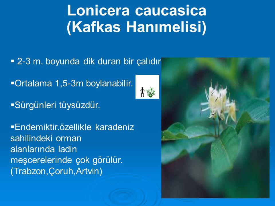 Lonicera caucasica (Kafkas Hanımelisi)  2-3 m. boyunda dik duran bir çalıdır.  Ortalama 1,5-3m boylanabilir.  Sürgünleri tüysüzdür.  Endemiktir.öz