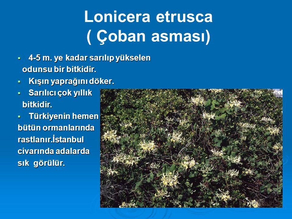 Lonicera etrusca ( Çoban asması)  4-5 m. ye kadar sarılıp yükselen odunsu bir bitkidir. odunsu bir bitkidir.  Kışın yaprağını döker.  Sarılıcı çok
