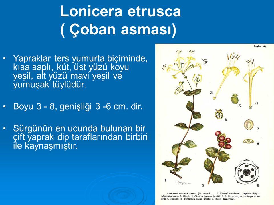 Yapraklar ters yumurta biçiminde, kısa saplı, küt, üst yüzü koyu yeşil, alt yüzü mavi yeşil ve yumuşak tüylüdür. Boyu 3 - 8, genişliği 3 -6 cm. dir. S