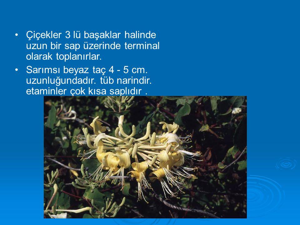 Çiçekler 3 lü başaklar halinde uzun bir sap üzerinde terminal olarak toplanırlar. Sarımsı beyaz taç 4 - 5 cm. uzunluğundadır. tüb narindir. etaminler