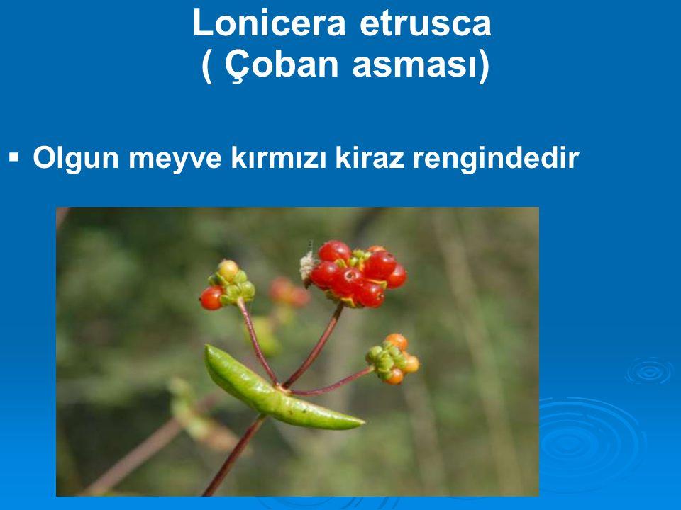 Lonicera etrusca ( Çoban asması)  Olgun meyve kırmızı kiraz rengindedir