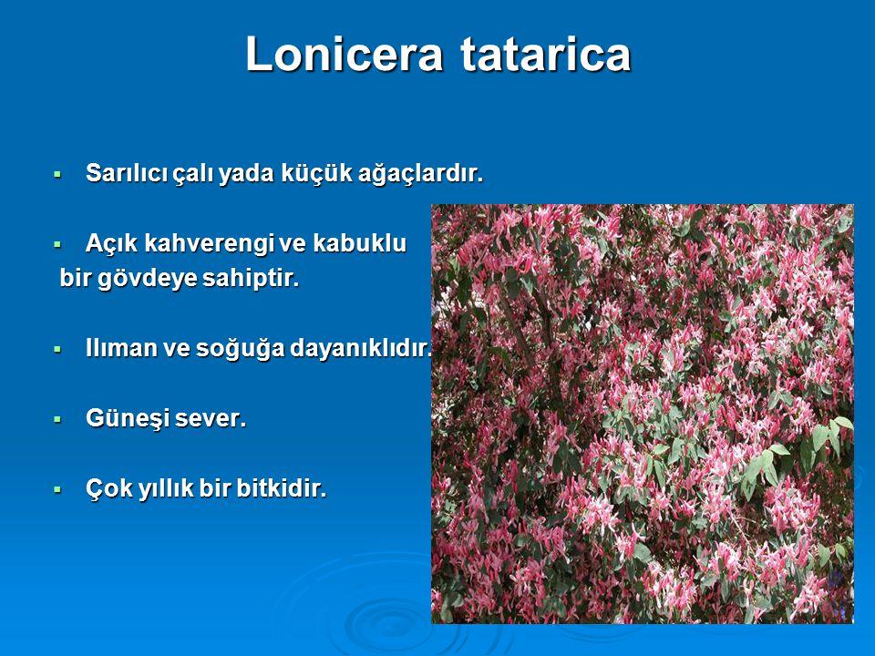 Lonicera tatarica  Sarılıcı çalı yada küçük ağaçlardır.  Açık kahverengi ve kabuklu bir gövdeye sahiptir. bir gövdeye sahiptir.  Ilıman ve soğuğa d