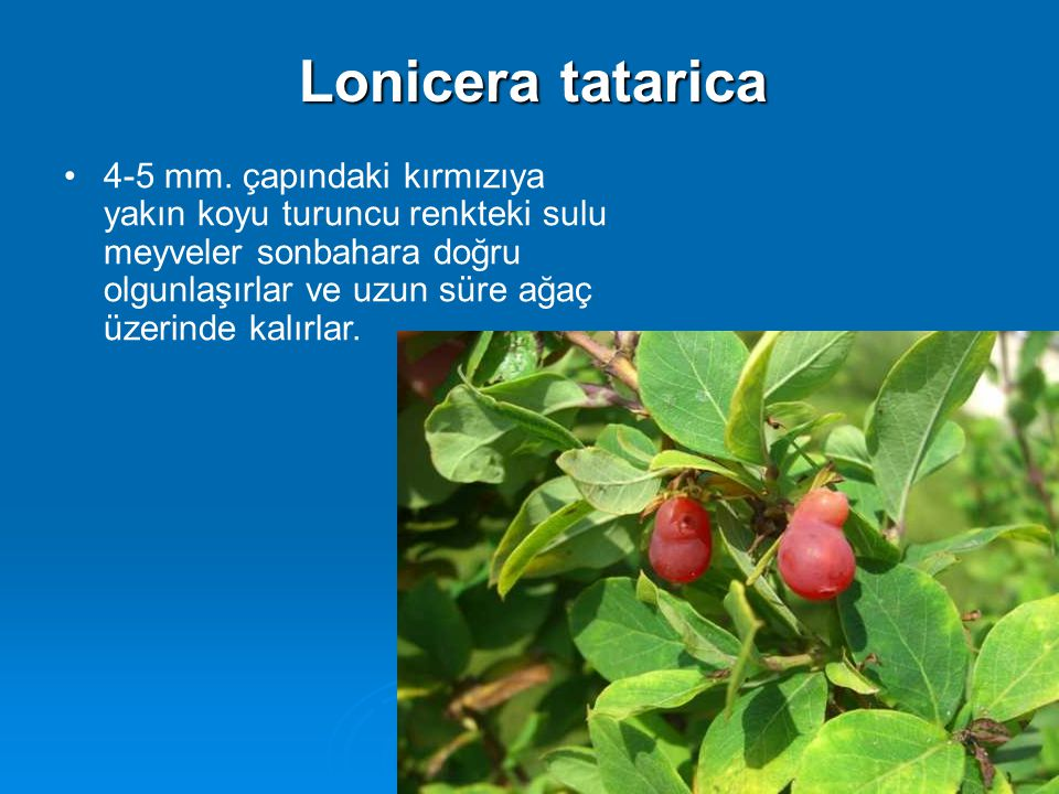 4-5 mm. çapındaki kırmızıya yakın koyu turuncu renkteki sulu meyveler sonbahara doğru olgunlaşırlar ve uzun süre ağaç üzerinde kalırlar. Lonicera tata
