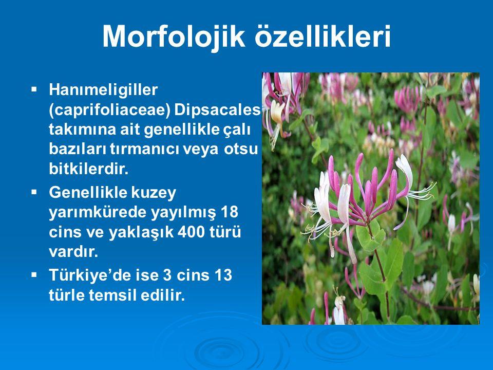 Morfolojik özellikleri  Hanımeligiller (caprifoliaceae) Dipsacales takımına ait genellikle çalı bazıları tırmanıcı veya otsu bitkilerdir.  Genellikl