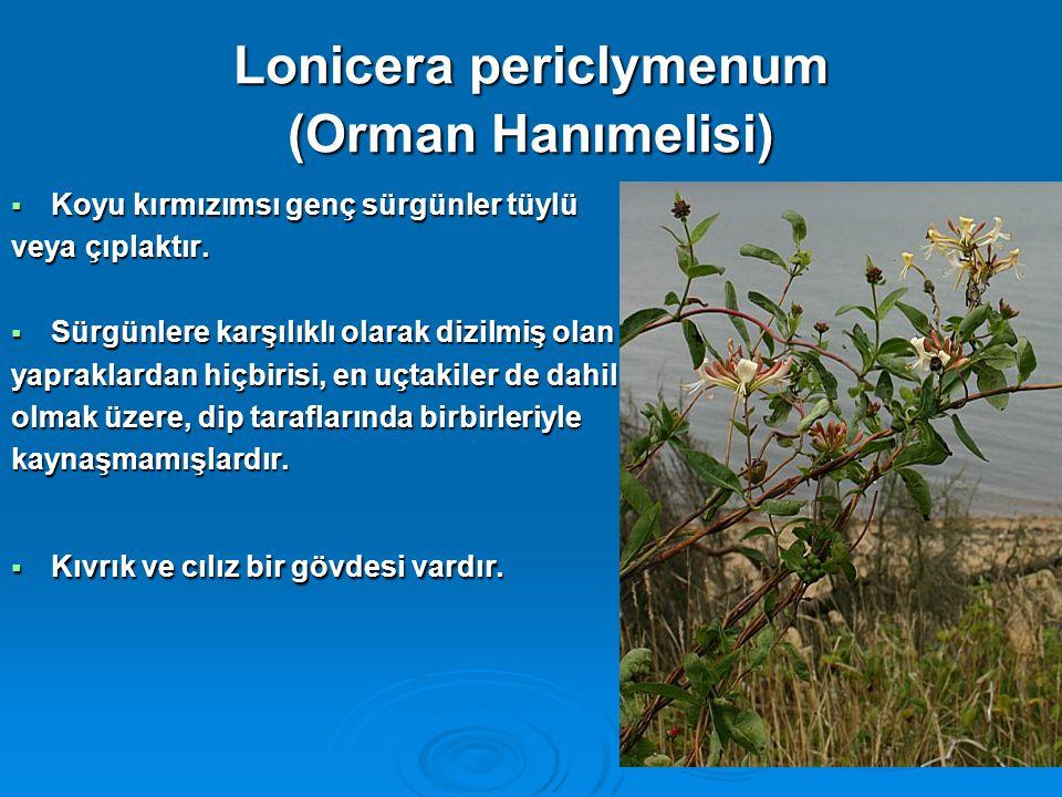 Lonicera periclymenum (Orman Hanımelisi)  Koyu kırmızımsı genç sürgünler tüylü veya çıplaktır.  Sürgünlere karşılıklı olarak dizilmiş olan yapraklar