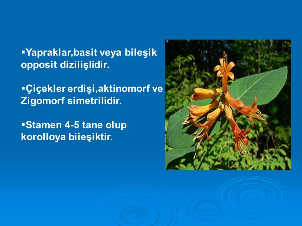  Yapraklar,basit veya bileşik opposit dizilişlidir.  Çiçekler erdişi,aktinomorf ve Zigomorf simetrilidir.  Stamen 4-5 tane olup korolloya biieşikti