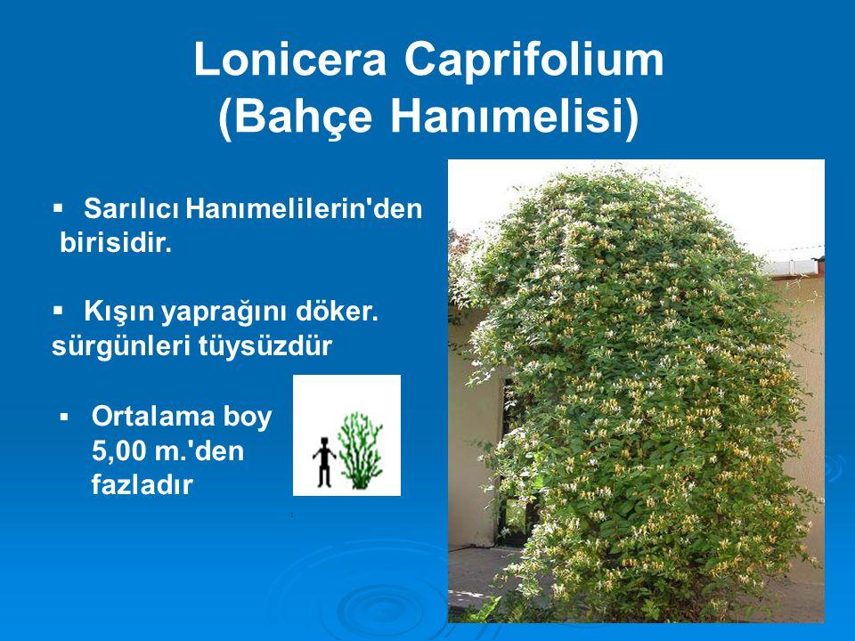 Lonicera Caprifolium (Bahçe Hanımelisi)  Sarılıcı Hanımelilerin'den birisidir.  Kışın yaprağını döker. sürgünleri tüysüzdür  Ortalama boy 5,00 m.'d