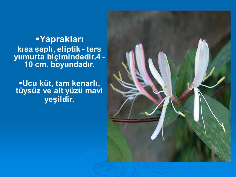  Yaprakları kısa saplı, eliptik - ters yumurta biçimindedir.4 - 10 cm. boyundadır.  Ucu küt, tam kenarlı, tüysüz ve alt yüzü mavi yeşildir.