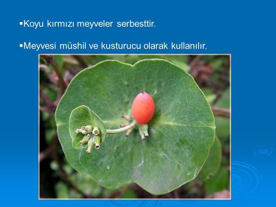  Koyu kırmızı meyveler serbesttir.  Meyvesi müshil ve kusturucu olarak kullanılır.