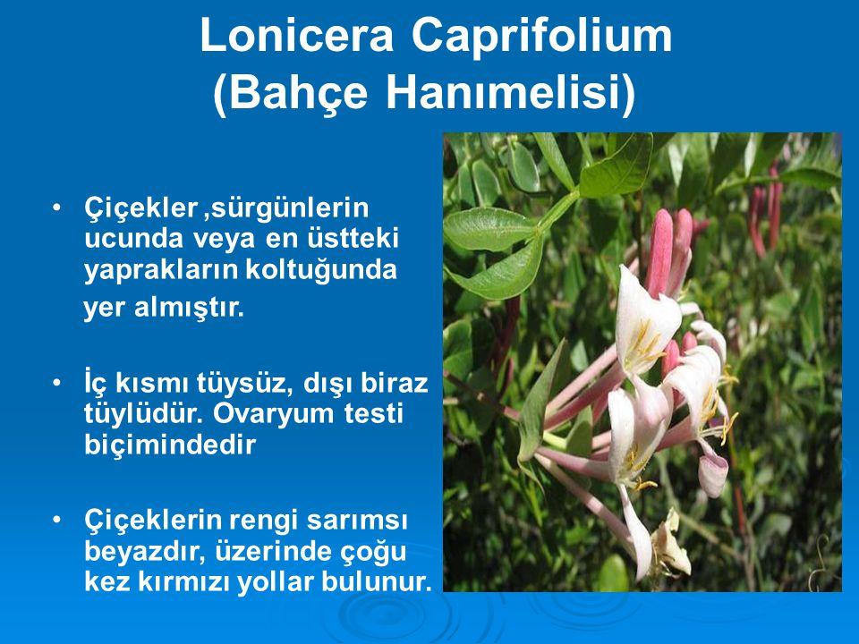Lonicera periclymenum (Orman Hanımelisi)  Koyu kırmızımsı genç sürgünler tüylü veya çıplaktır.