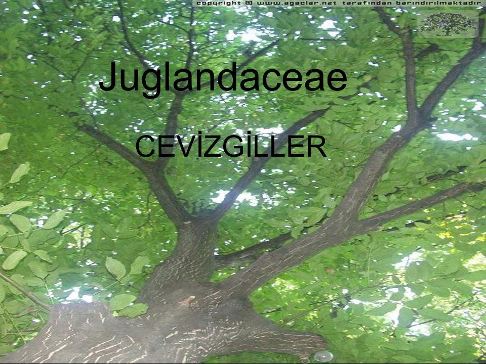 Juglans Kabuk: İnce boyuna çatlaklı Yaprak: Dişli ya da tam 10-20 tane Tomurcuk: sapsız çok pullu tüylü Sürgün özü: bölmeli merdivenimsi yaprak izi kuru kafa Erkek çiçek: amentumlar çatallanmaz 7-105 etamin pulu Meyve: çekirdekli sulu Yayılışı: Asya Avrupa çin Amerika Pterocarya İnce boyuna çatlaklı Dişli 20-25 Saplı pulsuz çıplak Bölmeli merdivenimsi Üçgenimsi iz bırakır Amentumlar çatallanmaz 7 tane etamin pul Kanatlı nus Avrupa türkiye iran Carya Asma gövdesi gibi büyük levhalar halinde çatlar Dişli sivri 5-7 Çok pullu açılı sivriuçlu İçi dolu(som)yaprak izi Yuvarlak içi dolu Amentumlar 3lü çatallanır 3-7 etamin pulu Çekirdekli sulu meyvem Mezokarp dilimlenerek Ayrılır Amerika