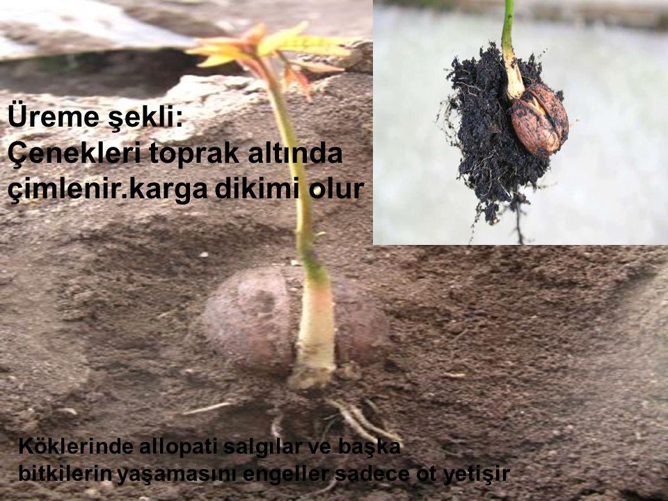 Üreme şekli: Çenekleri toprak altında çimlenir.karga dikimi olur Köklerinde allopati salgılar ve başka bitkilerin yaşamasını engeller sadece ot yetişir