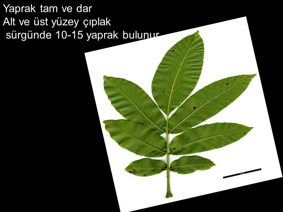 Yaprak tam ve dar Alt ve üst yüzey çıplak sürgünde 10-15 yaprak bulunur