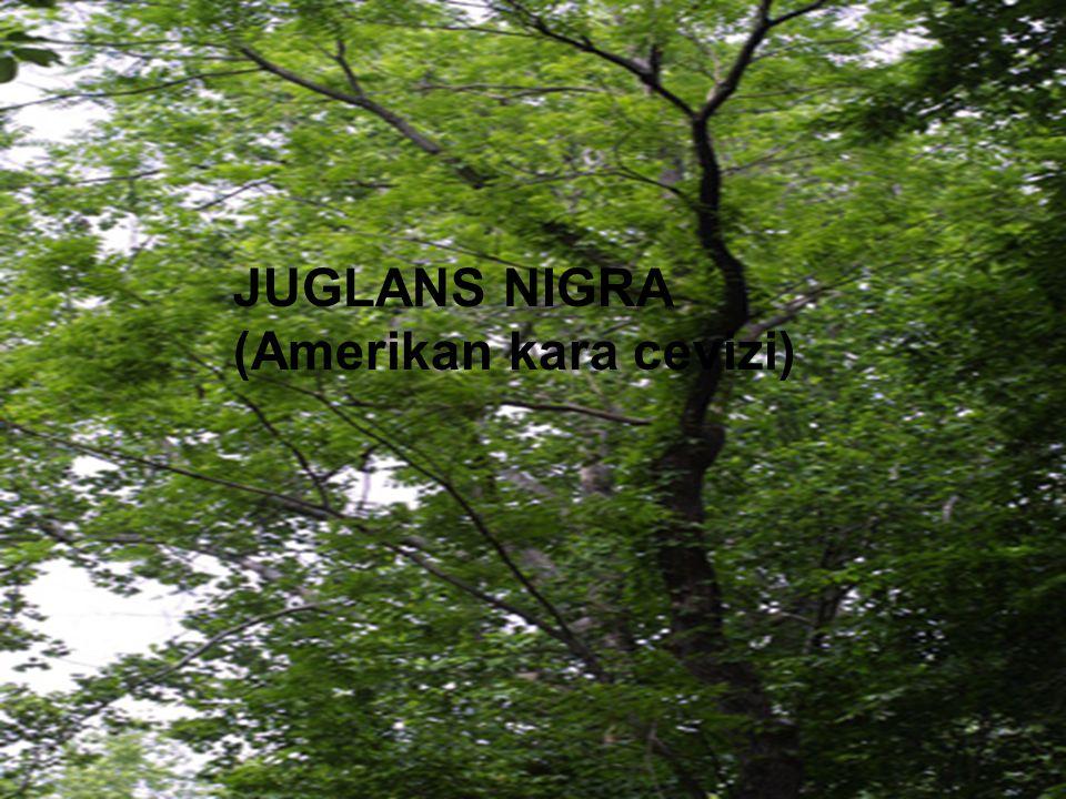 JUGLANS NIGRA (Amerikan kara cevizi)