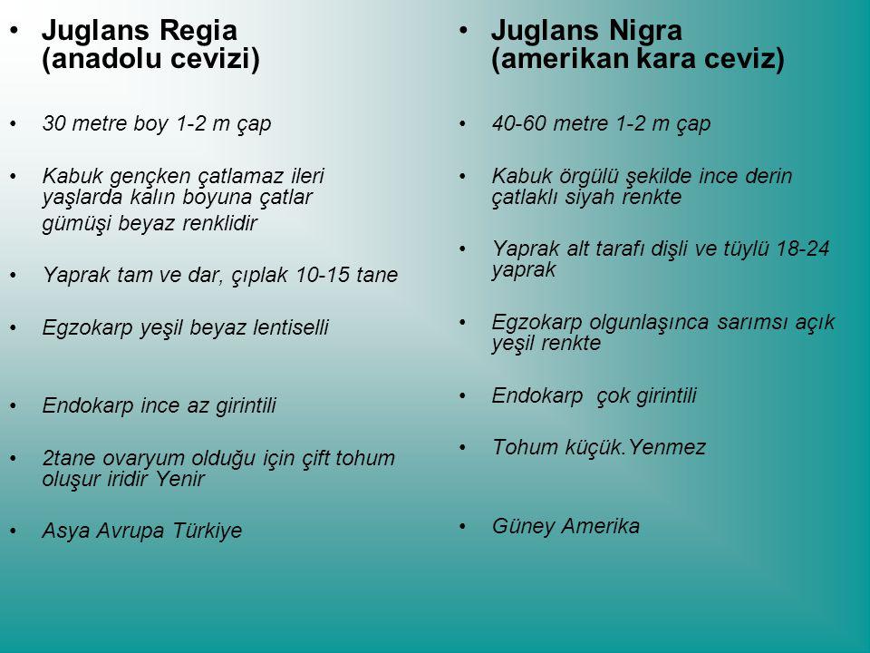 Juglans Regia (anadolu cevizi) 30 metre boy 1-2 m çap Kabuk gençken çatlamaz ileri yaşlarda kalın boyuna çatlar gümüşi beyaz renklidir Yaprak tam ve dar, çıplak 10-15 tane Egzokarp yeşil beyaz lentiselli Endokarp ince az girintili 2tane ovaryum olduğu için çift tohum oluşur iridir Yenir Asya Avrupa Türkiye Juglans Nigra (amerikan kara ceviz) 40-60 metre 1-2 m çap Kabuk örgülü şekilde ince derin çatlaklı siyah renkte Yaprak alt tarafı dişli ve tüylü 18-24 yaprak Egzokarp olgunlaşınca sarımsı açık yeşil renkte Endokarp çok girintili Tohum küçük.Yenmez Güney Amerika