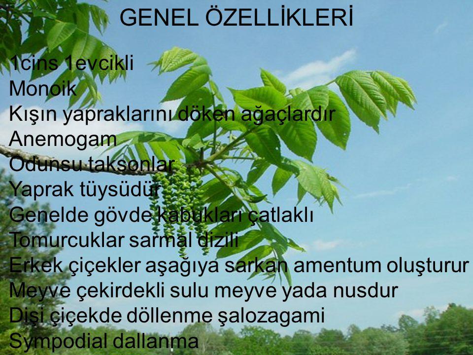GENEL ÖZELLİKLERİ 1cins 1evcikli Monoik Kışın yapraklarını döken ağaçlardır Anemogam Odunsu taksonlar Yaprak tüysüdür Genelde gövde kabukları çatlaklı