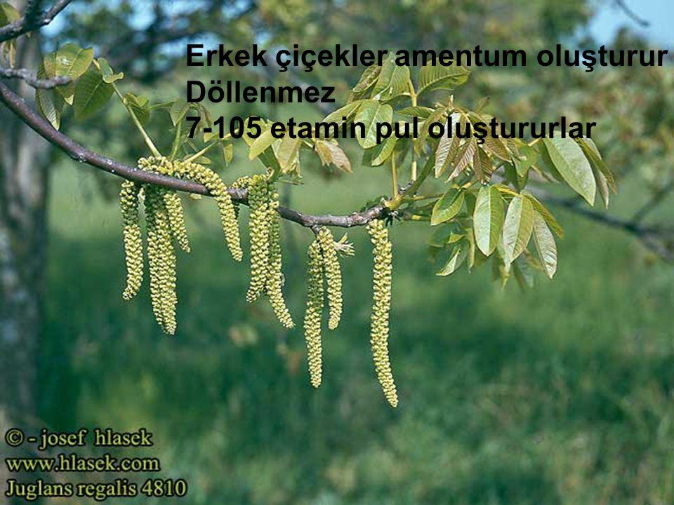 Erkek çiçekler amentum oluşturur Döllenmez 7-105 etamin pul oluştururlar
