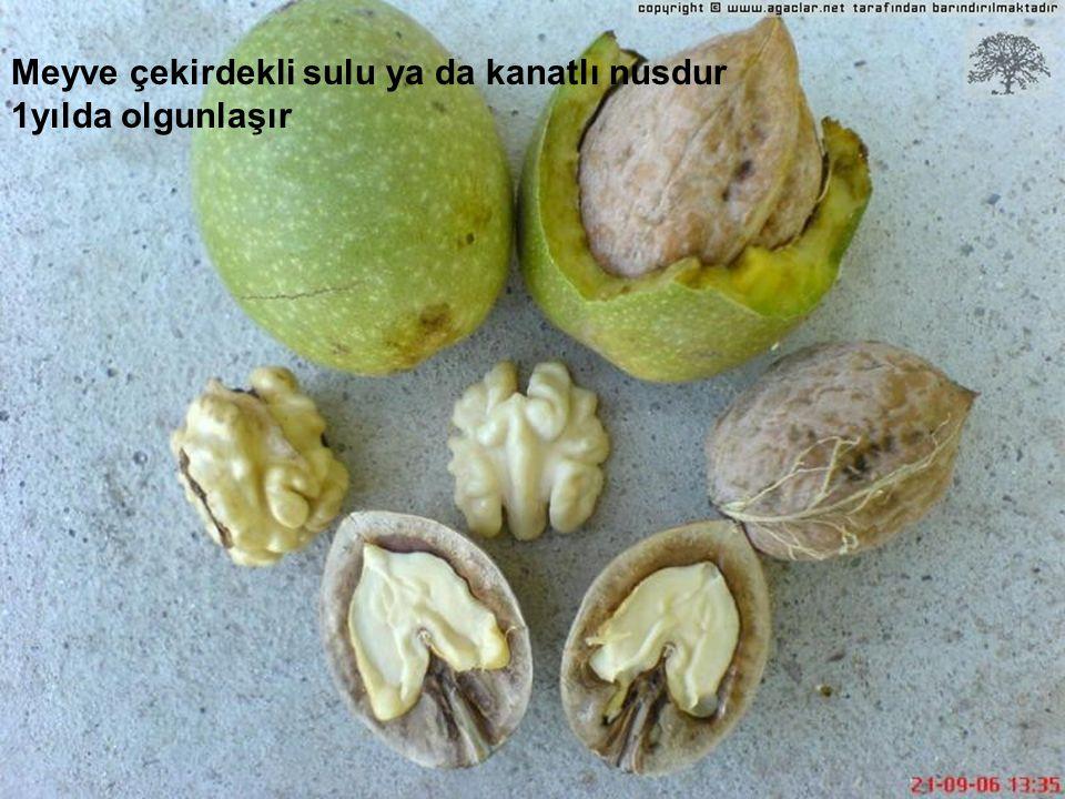 Meyve çekirdekli sulu ya da kanatlı nusdur 1yılda olgunlaşır