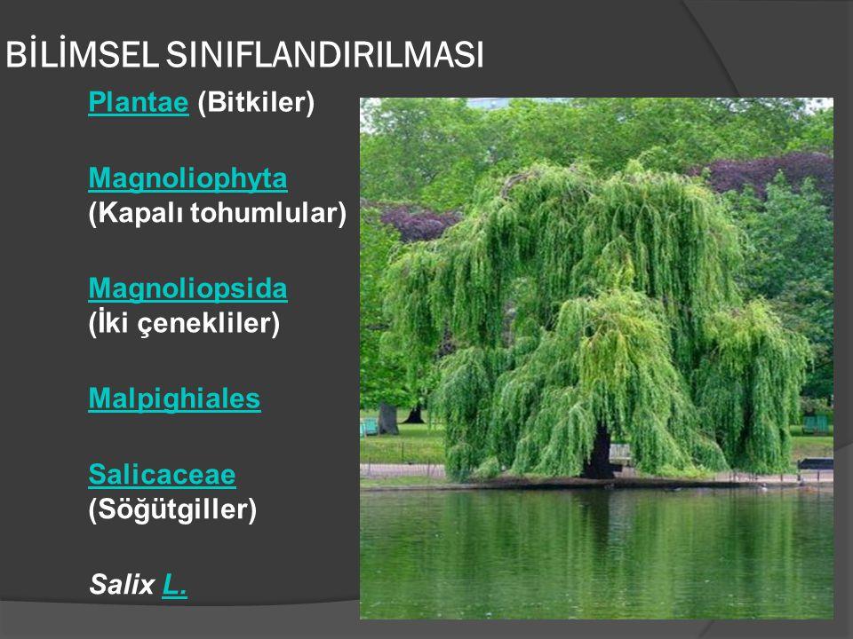 PlantaePlantae (Bitkiler) Magnoliophyta Magnoliophyta (Kapalı tohumlular) Magnoliopsida Magnoliopsida (İki çenekliler) Malpighiales Salicaceae Salicac