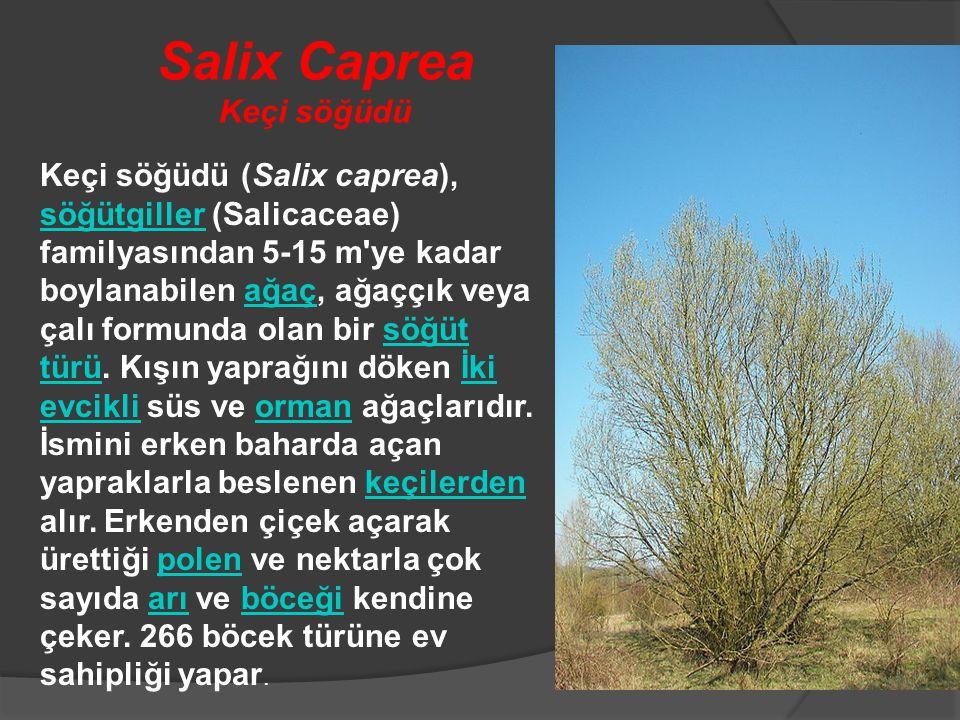 Salix Caprea Keçi söğüdü Keçi söğüdü (Salix caprea), söğütgiller (Salicaceae) familyasından 5-15 m'ye kadar boylanabilen ağaç, ağaççık veya çalı formu