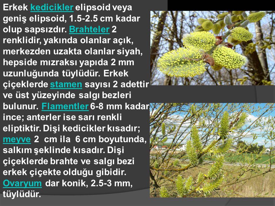 Erkek kedicikler elipsoid veya geniş elipsoid, 1.5-2.5 cm kadar olup sapsızdır. Brahteler 2 renklidir, yakında olanlar açık, merkezden uzakta olanlar