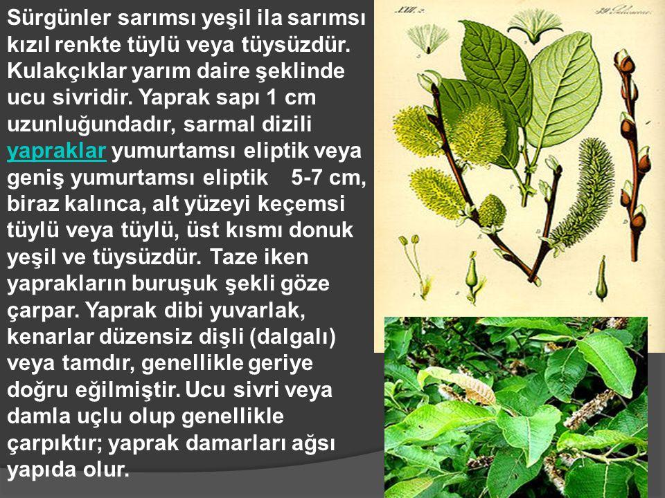 Sürgünler sarımsı yeşil ila sarımsı kızıl renkte tüylü veya tüysüzdür. Kulakçıklar yarım daire şeklinde ucu sivridir. Yaprak sapı 1 cm uzunluğundadır,