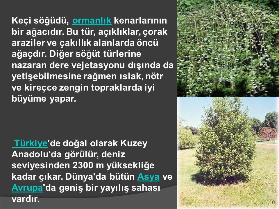 Keçi söğüdü, ormanlık kenarlarının bir ağacıdır. Bu tür, açıklıklar, çorak araziler ve çakıllık alanlarda öncü ağaçdır. Diğer söğüt türlerine nazaran